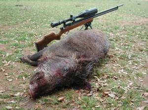 varmint-pig-hunting